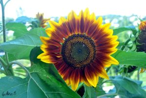 Sunflower by MatiasBloodbones