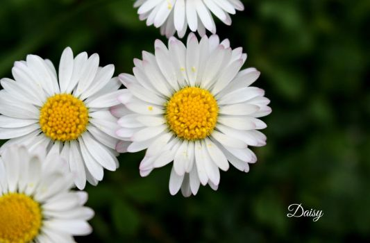 a fragil daisy by 0someone0