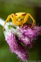 Misumena Vatia by Gilgond