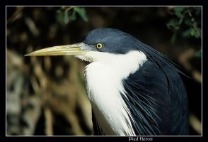PIED HERON 3 by AdamsWife