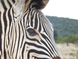 Zebra standing too close by Thaylien