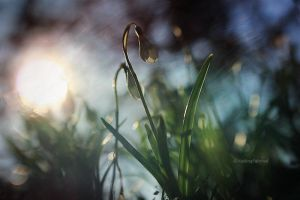 two little snowdrops in green and white by VisitingFahrrad