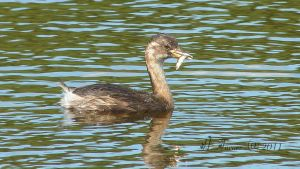 grebe and dinner by elliemoo