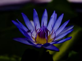 Blue Lotus by InayatShah