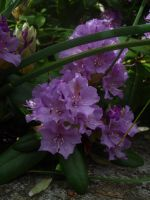 Rhododendron by McDonkm
