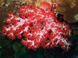 scarlet soft coral by MotHaiBaPhoto