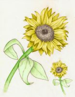 Melissas Sunflower Colored by HuddyJr