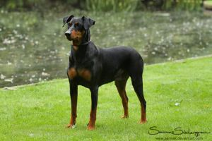 Rakcha the Pinscher by SaNNaS
