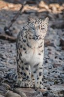 Snowleopard, KA V by FGW-Photography