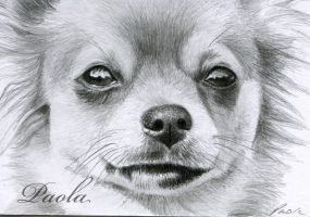 Chihuahua ACEO by skippypoof