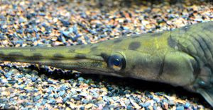 Gar - Boston Aquarium by wagn18