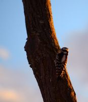 Woodpecker by CoreyChiev