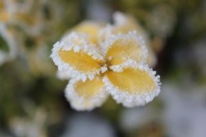 Frosty yellow by VampireGirl444