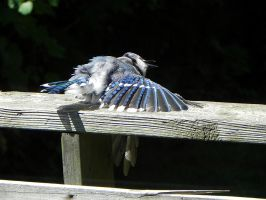 funny bluejay behaviour by Lou-in-Canada