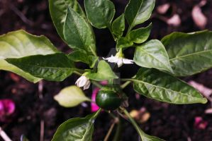 Bell Peppers And Rose Petals by SpawnedImages