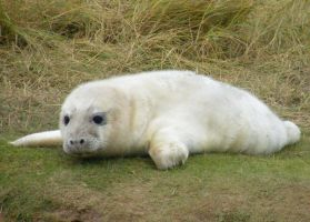 Donna Nook Seal 1 by Queenselphie