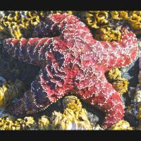 Starfish Cannon Beach by jnicol21