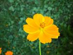 Cosmos yellow by Tangobear-resources