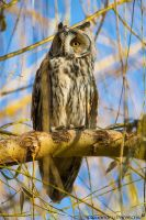 Long-eared Owl by AlecsPS