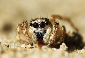 Jumping Spider by Meteorolog