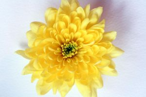 Yellow Flower by KayleighOC