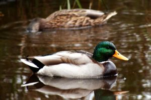 The Mallard by nightwibe