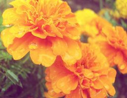 Marigolds For You... by XxepIkzxX