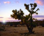 Joshua Tree 2 - Arizona Desert by collector007
