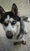 Siberian Husky Kiba like to dig by pollo0389