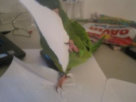 My conure ate my homework by anxiousArtist