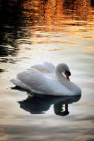 River Wensum Swan - another glimpse... by Coigach