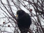 European Winter Starling? by Sparkle-Photography