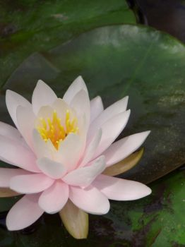 stock: water lilly. by guavon-stock