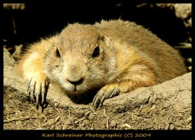 Black Tail Ground Hog by KSPhotographic