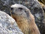 Marmot close-up by BK-81