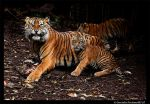 Tigers: My Food by TVD-Photography