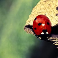 Coccinellidae by Meteorolog