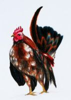 rooster by tanintan