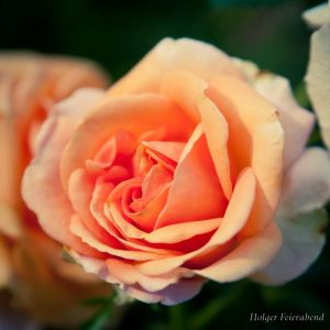 A rose is a rose by fholger