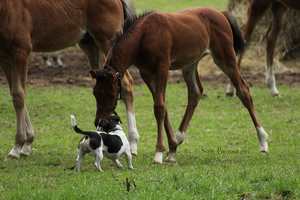 Foal and dog Stock 1 by Saerl