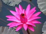 water lily 0058 by fa-stock