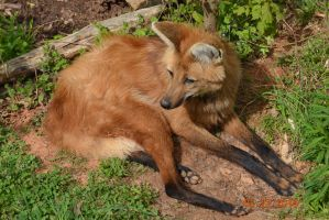 Maned Wolf by Jaeger15