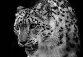 Snowleopard, Stuttgart I #Updated by FGW-Photography