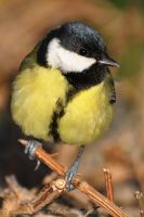 Parus major (013) by Sikaris