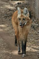 Maned Wolf 003 by FoxWolfPhoto