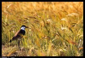 Siksak in the gold field by Amitai-F
