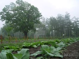 Cabbages in the Mist by InKibus