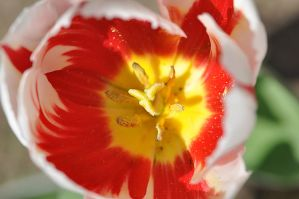 tulip by mariall