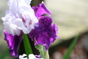 Iris Afternoon 3 by Dellessanna