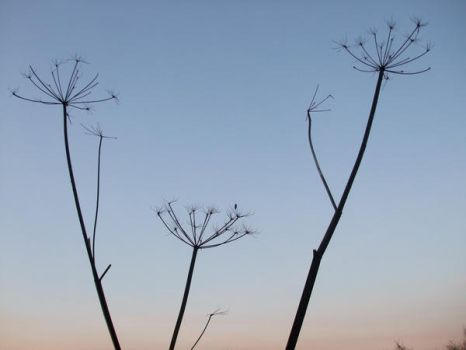 cow parsley by child-of-aros